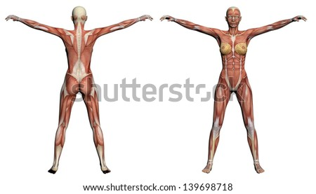 Human Anatomy - Female Muscles made in 3d software