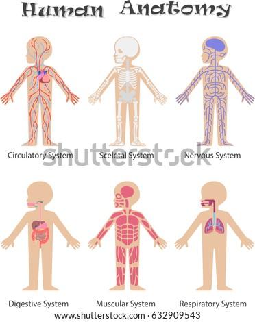 Human Anatomy Kids Circulatory Sceletal Nervous Stock Illustration