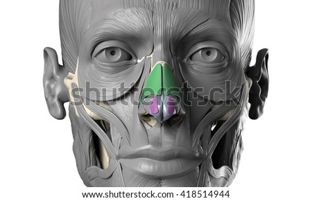 human anatomy head model with face muscles - stock photo