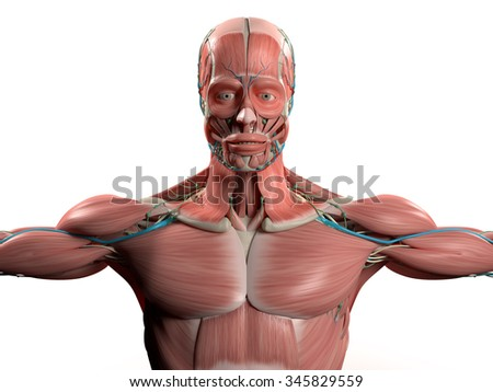 human anatomy head shoulders torsomuscular system stock, Muscles