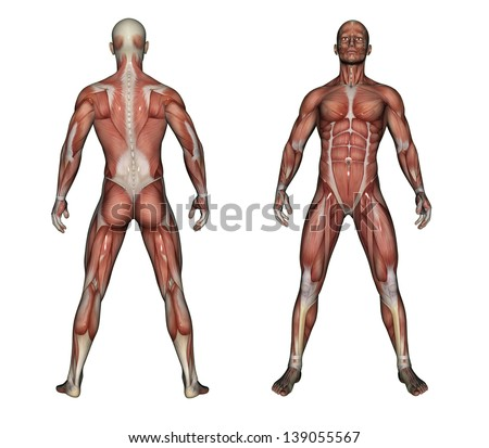 Human Anatomy - Male Muscles made in 3d software