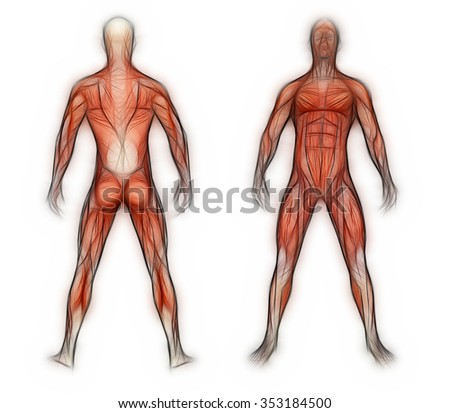 Human Anatomy Male Muscles Made 3d Stock Illustration 353184500 ...