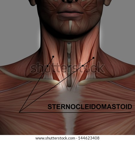 human anatomy male muscles made 3d stock illustration 144623948, Muscles