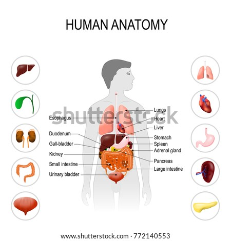 Human anatomy medical poster internal organs stock illustration human anatomy medical poster with internal organs on white background silhouette of a man ccuart Choice Image