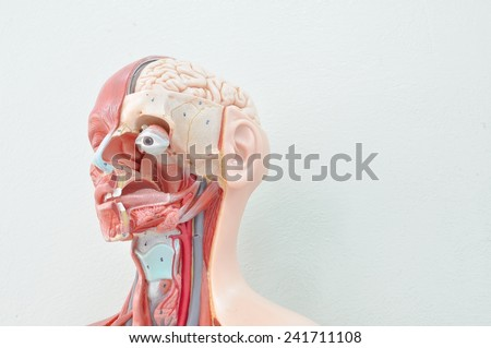 human anatomy model - stock photo