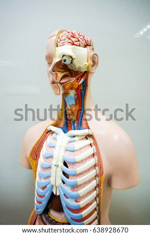 Human Anatomy Model Stock Photo Edit Now 638928670 Shutterstock