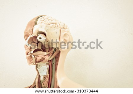 human anatomy model with old color style - stock photo