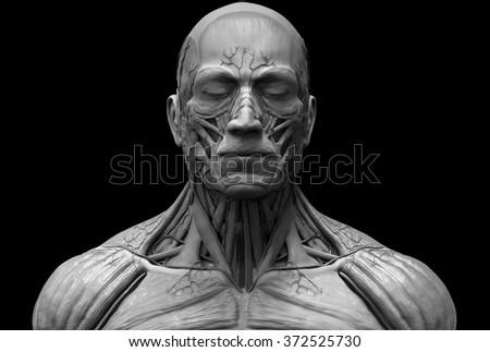 Human Anatomy Muscle Anatomy Face Neck Stock Illustration 372525730