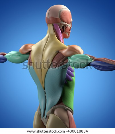infraespinoso stock photos, royalty-free images & vectors, Muscles