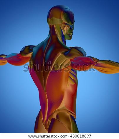 abdominal muscle diagram fotografie, snímky pro členy zdarma a, Muscles