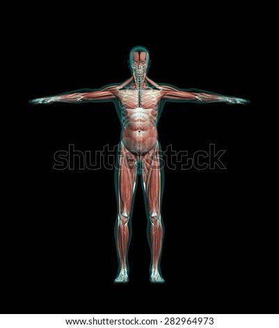 Human Anatomy Muscles Leg Bones Xray Stock Illustration 282964973