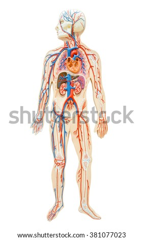 Man Body Anatomy Stock Images, Royalty-Free Images & Vectors ...