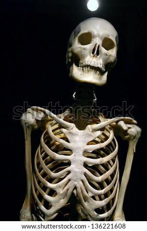real human skeleton stock images, royalty-free images & vectors, Skeleton