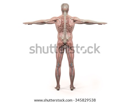 human anatomy showing back full body stock illustration 345829571, Muscles