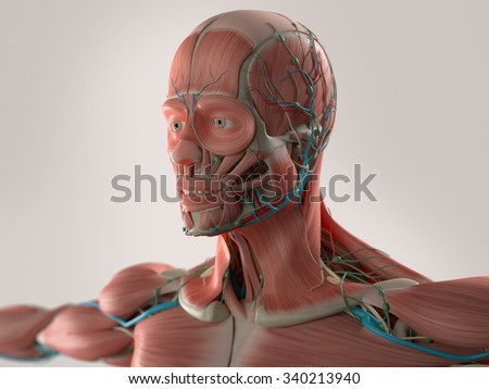 Human anatomy showing face, head, shoulders and chest muscular system, bone structure and vascular system. - stock photo