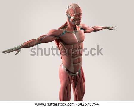 Human anatomy showing face, head, shoulders and torso muscular system, bone structure and vascular system. - stock photo