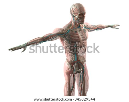 Human anatomy showing face, head, shoulders and torso muscular system, bone structure and vascular system on a plain white background. - stock photo