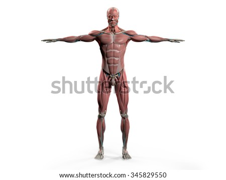 Human anatomy showing front full body, head, shoulders and torso, bone structure, muscular system and vascular system on a plain white background. - stock photo