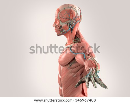 Human anatomy side view of head showing muscular and vascular system on light background.