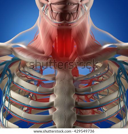 Human Anatomysore Throat Infection Chest Rib Stock Illustration
