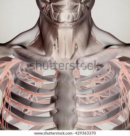 Human Anatomy Torso Rib Cage Muscle Stock Illustration 429363370 ...