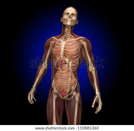 Human Anatomy, transparent muscles showing internal organs. - stock photo