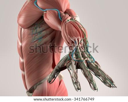 Human Anatomy View Torso Arm Showing Stock Illustration 341766749 ...