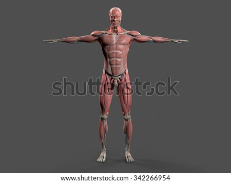 Human anatomy with front view of full body showing muscular system and vascular system on a stylish dark grey background. - stock photo