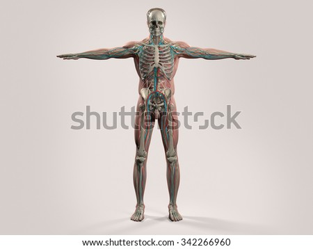 Human anatomy with front view of full body showing skeletal system and skin on a stylish white background. - stock photo
