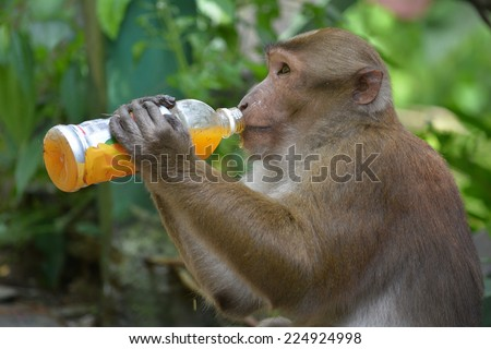 Human-animal interaction. Effect of man on wild animals. Clever Bonnet macaque (Macaca radiata) in Khatmandu, Sikkim, drinking mango juice from a plastic bottle - an unnatural funny animal behavior. - stock photo