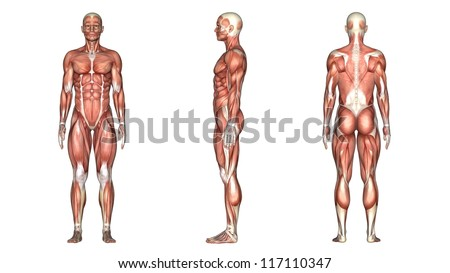 muscle body stock images, royalty-free images & vectors | shutterstock, Muscles