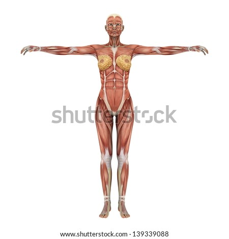 human body stock illustration 101434255 - shutterstock, Muscles
