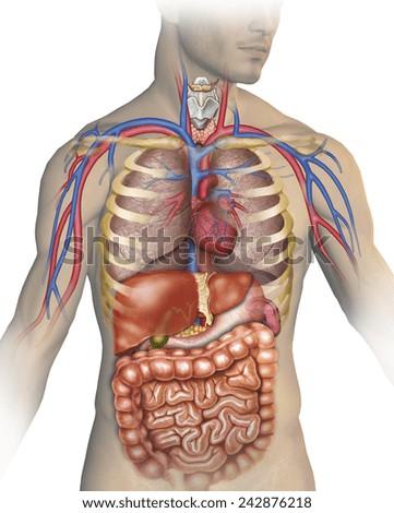 Human Body Anatomy - stock photo