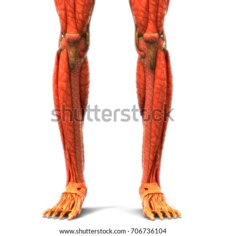 Human Body Muscles Anatomy Legs 3d Stock Illustration 706736125