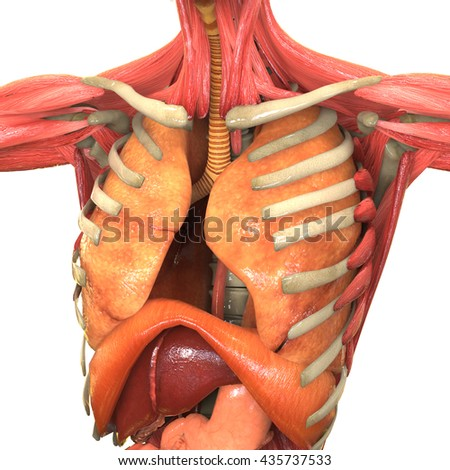 Human body organs anatomy lungs liver stock illustration 435737533 human body organs anatomy lungs liver large and small intestine with kidneys ccuart Choice Image