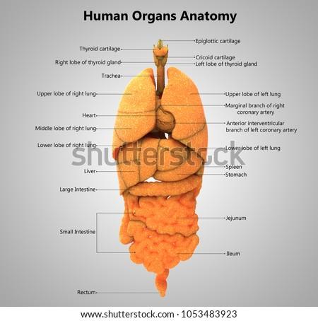 Human Body Organs Label Design Anatomy Stock Illustration 1053483923 ...