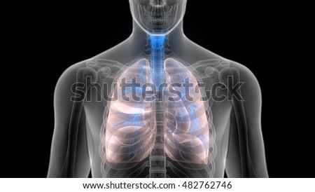 Human Body Organs Lungs Inside Anatomy Stock Illustration 482762746 ...