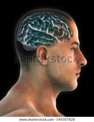 Human Brain Anatomy - stock photo