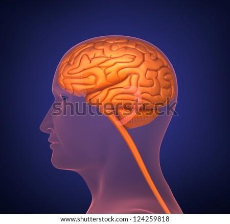 Human brain. Cross section. On dark background. - stock photo