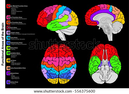 Human Brain Functional Infographic Including All Stock Illustration ...