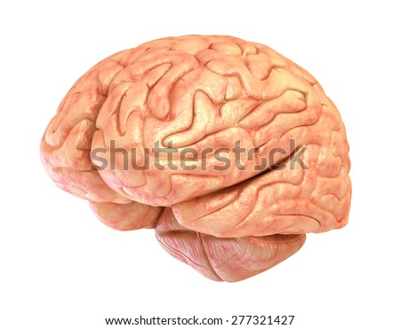 Human brain model, isolated