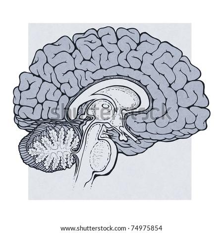 Human Brain Sagittal View Medical Schematic Stock Illustration