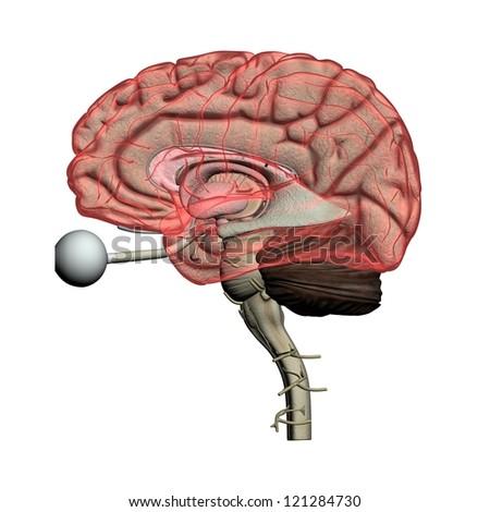 Human brain see-through Anatomy isolated on white - stock photo