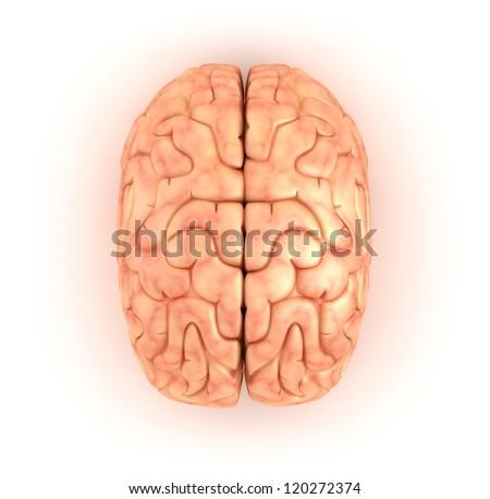 Human brain , top view - stock photo