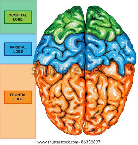 Lobes of brain diagram top electrical work wiring diagram human brain top view stock illustration 86359897 shutterstock rh shutterstock com blank brain diagram lobes brain ccuart Images