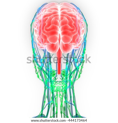 Human Brain with Nerves, Lymph nodes, Veins and Arteries Anatomy. 3D - stock photo