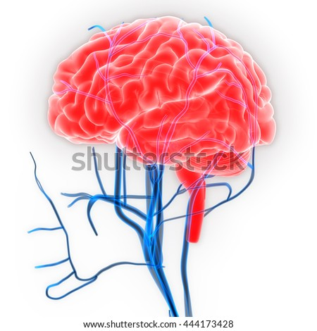 Human Brain with Nerves, Veins and Arteries Anatomy. 3D - stock photo
