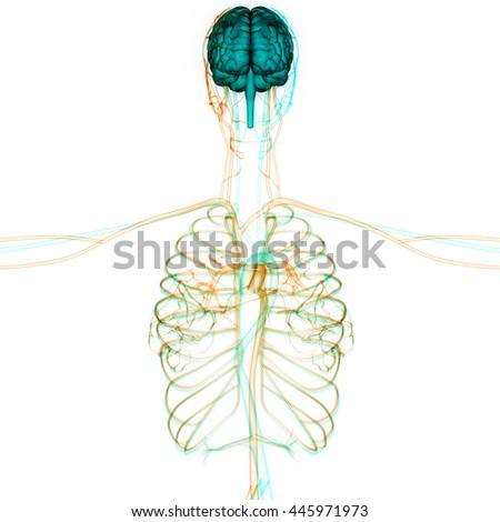 Human Brain Nerves Veins Arteries Anatomy Stock Illustration