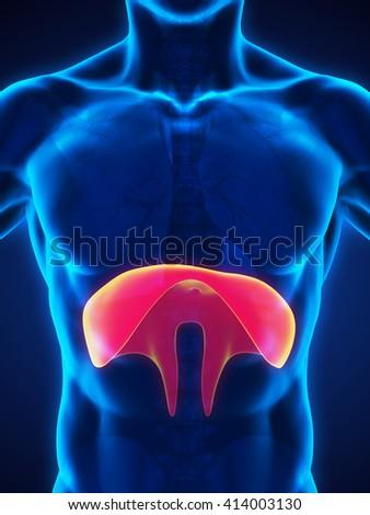 Human Diaphragm Anatomy Illustration. 3D rendering - stock photo