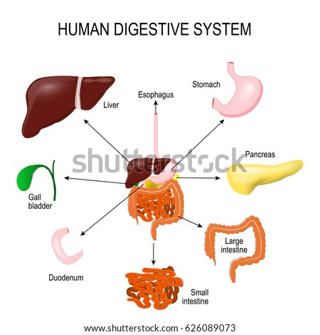 Human digestive system all parts stomach stock illustration human digestive system with all parts stomach gall bladder liver duodenum ccuart Image collections
